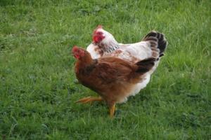 No more unauthorised chicken field trips