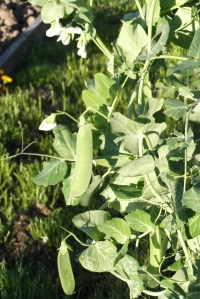 Fresh peas are now coming in thick and fast