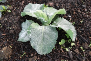 Ice on my veggies - an increasingly familiar sight around here now.