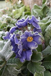 Amazing how a bit of ice can make a pretty flower prettier