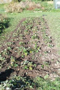 Strawberries experiencing freedom from weeds for the first time in a long time