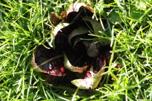 There are advantages to not mowing...  like finding lettuce growing among the grass!