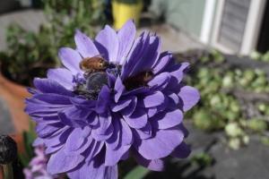 An abundance of bees - such a good sign for my garden