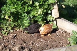 Chicks in the celery