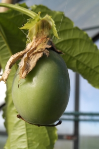A passionfruit! In my greenhouse!!  In winter!!!