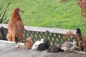 Everyone loves a cute chicken photo!