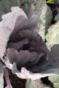 One last gratuitous photo of my red cabbage