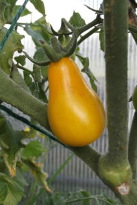 In the mean time, we can begin to enjoy the over-wintered tomatoes that have just started to come ripe!