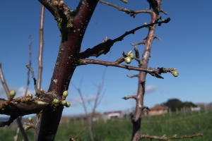 Next week blossoms, and then before you know it - plums!