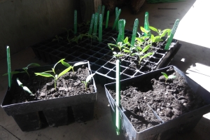 Transplanting seedlings is such a relaxing task