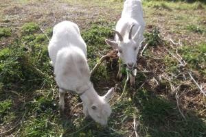 A rare treat for greedy goats