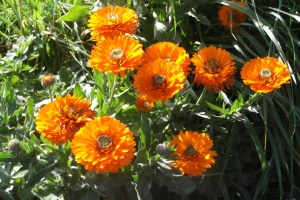 Self seeded calendula - while very beautiful, they are in the wrong place!