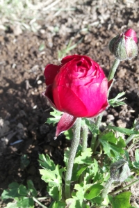 Definitely not a weed - a Ranunculus