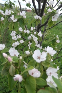 Quince blossoms are so lovely