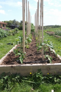 Twenty tomato plants of all shapes, sizes and colours all planted and secured...  All they need to do now is grow!