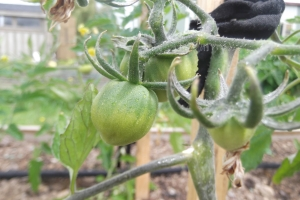 Green tomatoes still wet from a spring shower