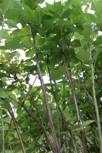 My raspberries are now able to bask in the sun and enjoy the breeze rustle through it's leaves.