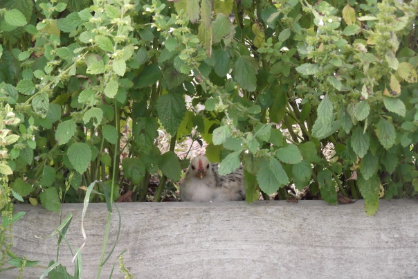 Sheltering from the heat of the day or a fugitive from the coop tresspassing?