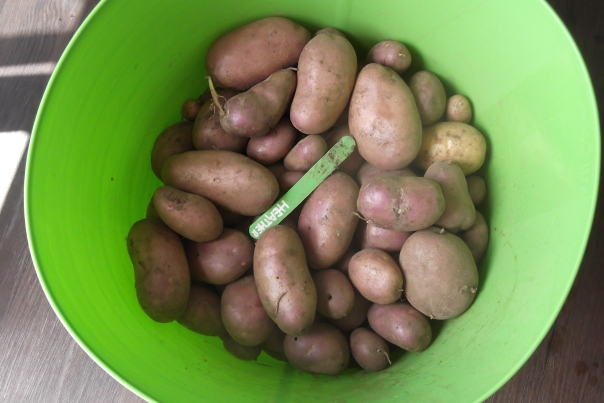Digging up these monster sized spuds was akin to finding gold!