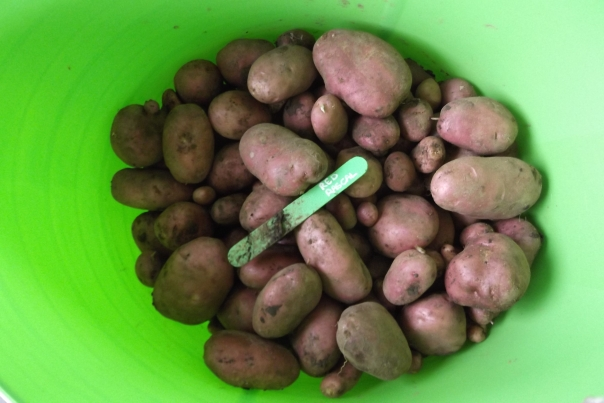 Loads of large and small spuds