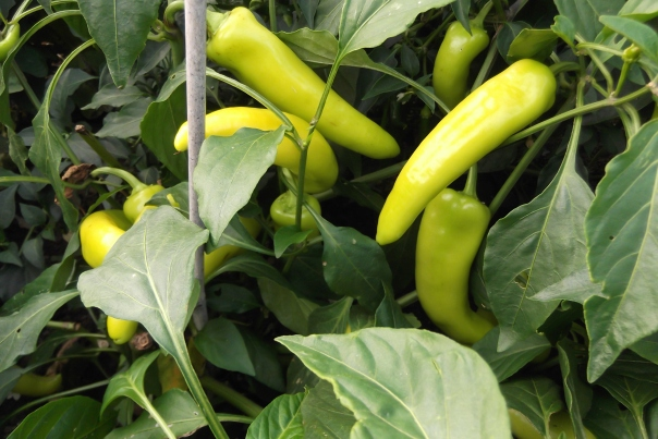 There are loads of chillies to deal with...