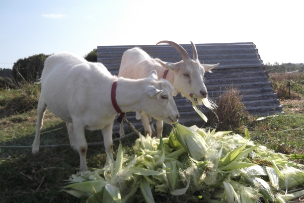 Greedy Goats who thought all their Christmas's had come at once!