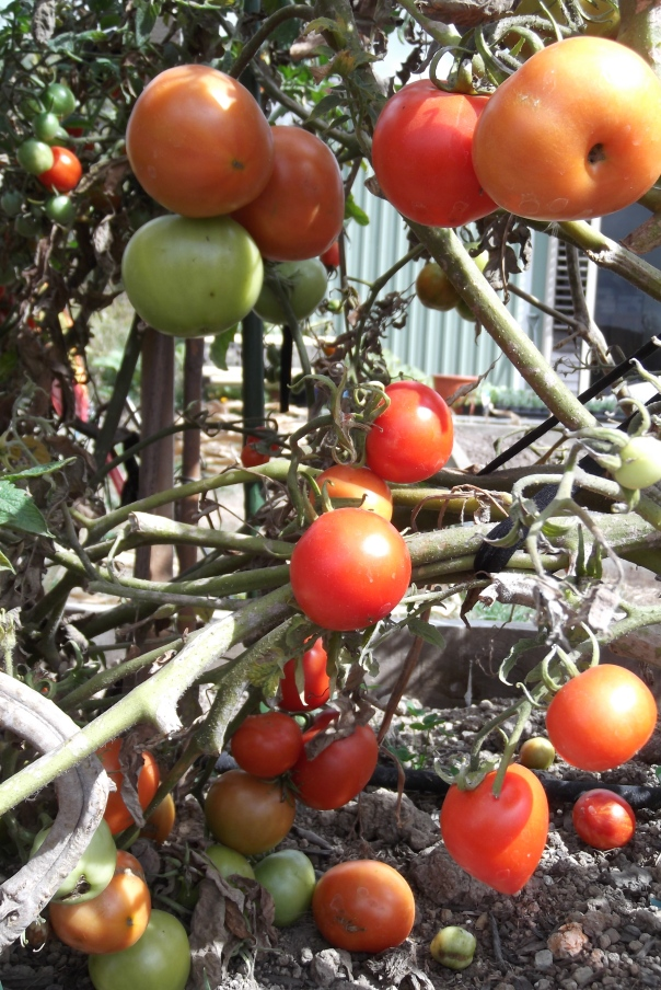 Harvesting tomatoes may have become a tiresome chore, but it will be over before I know it!