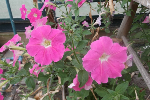 Despite being in the middle of a drought, in my abandoned greenhouse, growing through the cracks in the paving stones, into a sand base, with no irrigation - this petunia is thriving.  Why do things I try to grow in the greenhouse under normal conditions require so much attention?