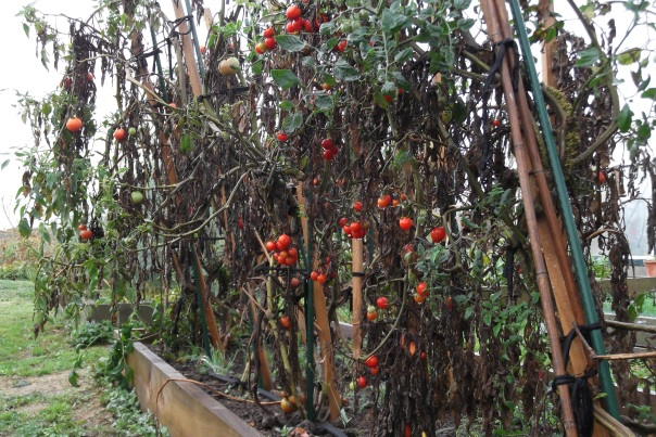 I'm sure that I can hold winter at bay - just so long as there are tomatoes in my garden.