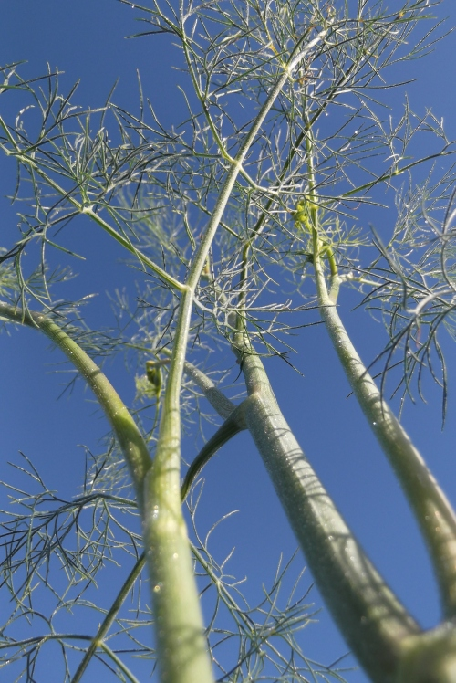 Dill reaching up into an endless blue sky