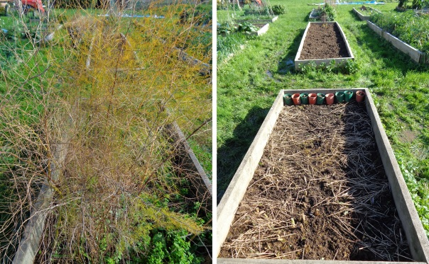 The asparagus bed before and after