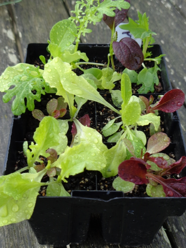 Salad seedlings ready and waiting.