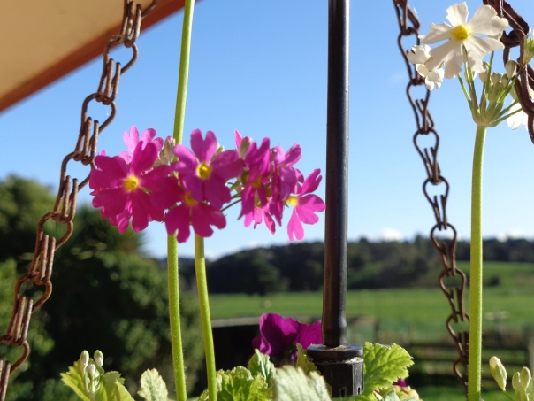 Beautiful primulas in my hanging basket brighten a winters day