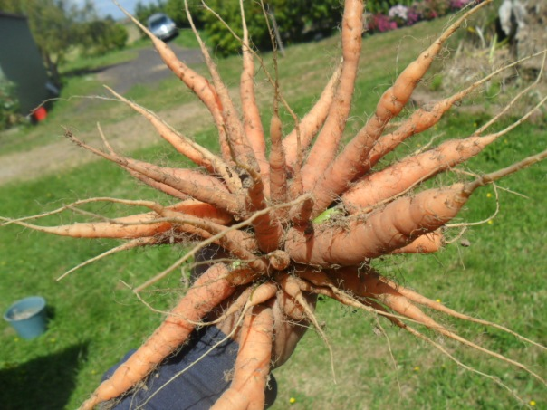 Carrots are easy to grow!