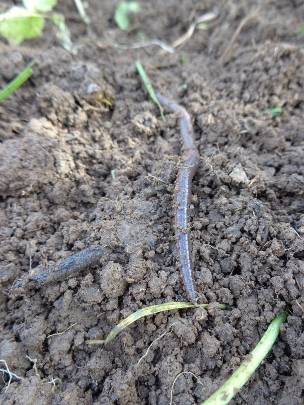 There were loads of worms, and this one popped up and watched me for ages!  I asked him if I could make him famous.