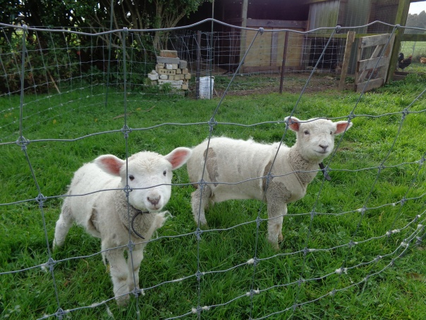 The lambs are growing really well and beginning to out grow there wee jumpers - but will they be ready for calf club?  At this point I am thinking debacle!