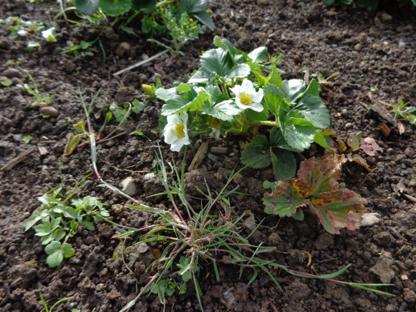The weeds are beginning to creep in around my carefully prepared strawberries.  This is a situation that can't be tolerated!