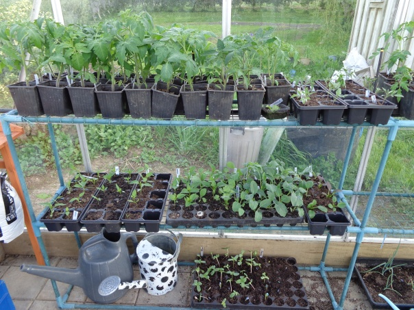 This is mostly the tomatoes and the peppers and some of the brassicas.