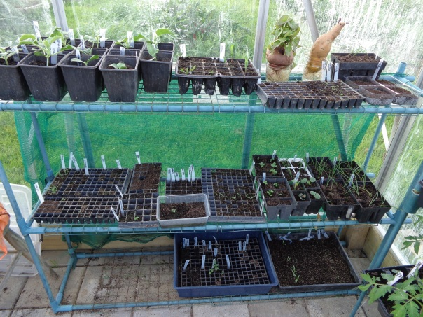 These are all the seeds that still have to come up or are still too tiny to transplant, with melons and sweet potatoes on the top.