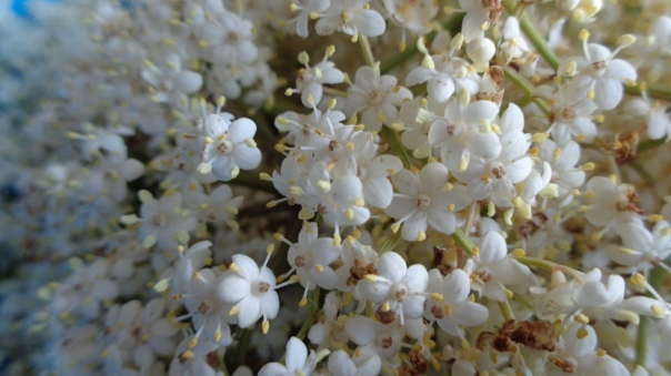 Beautiful elderflowers