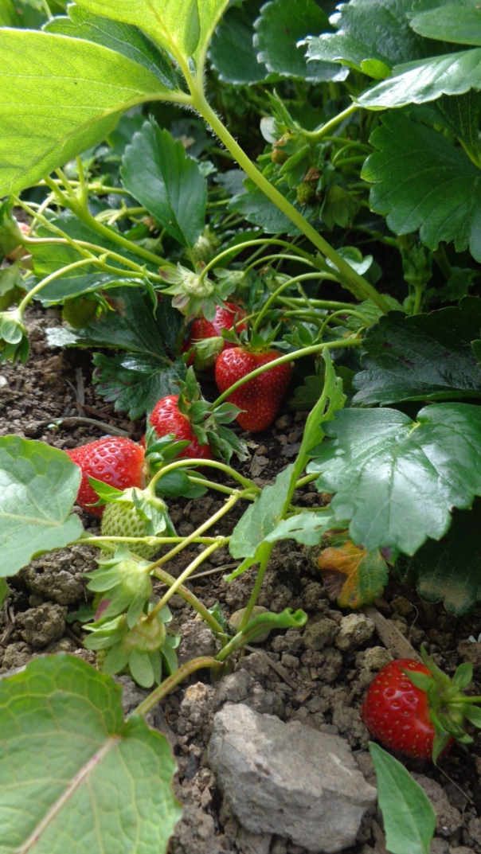 The strawberries need harvesting again!