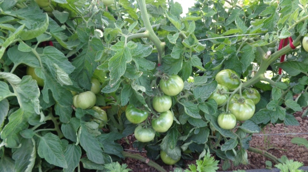 The first tomato may have come and gone but there are loads more that are nearly ready