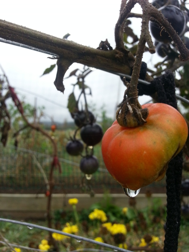 Sadly this welcome rain isn't enough to revive the tomatoes - they are on the way out anyway!