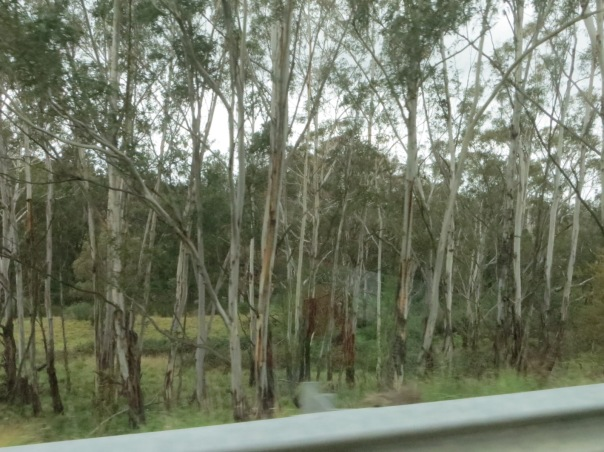 Ubiquitous Eucalyptus