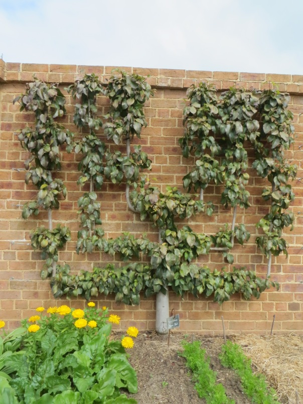 An amazing espalier fruit tree