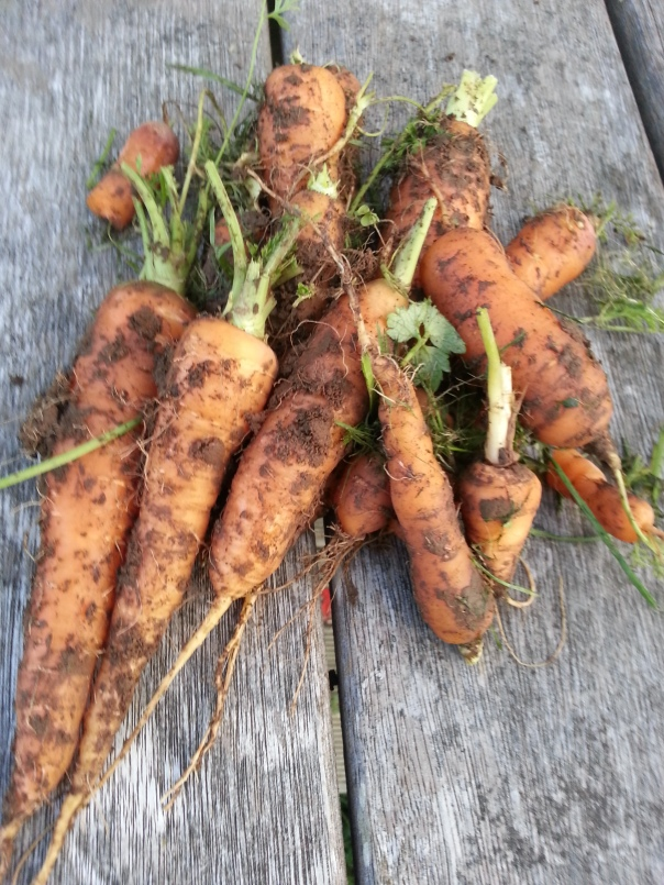 not a bad bunch of carrots schlepped from the muddy ground