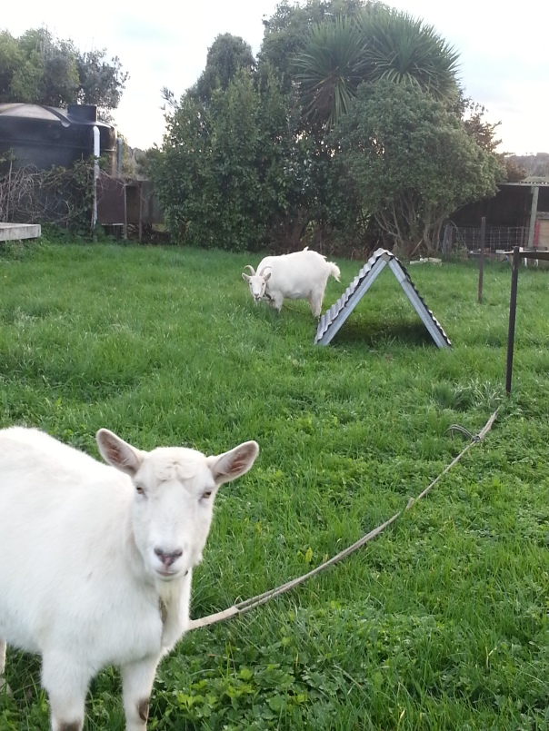 A more organic approach to mowing the knee high grass on the back lawn