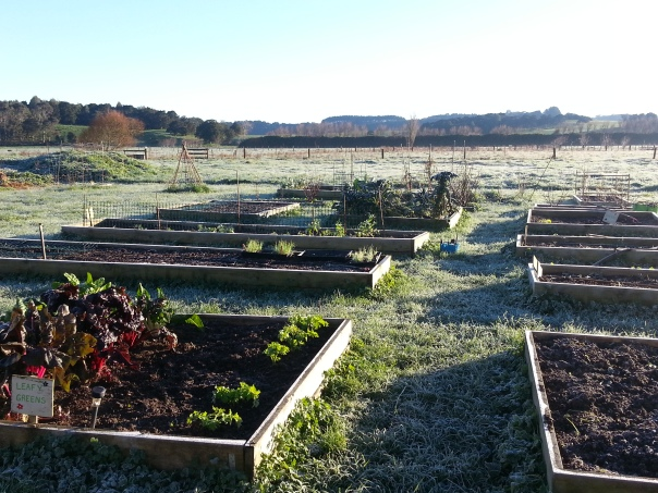 It was a bit chilly this morning. Hopefully the frosty weather will kill all the bugs lurking in my soil.
