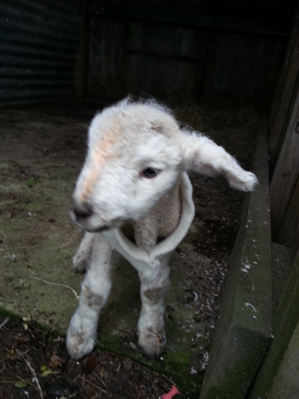 This is Sky the Lamb and he belongs to the Joeyosaurus