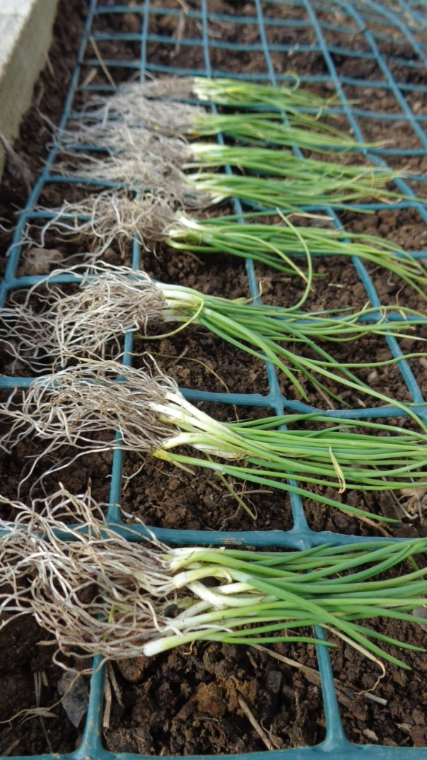 My onions have finally gone in.  The latest ever.  But I did put their seed trays in the garden so they could feel the cold they need for their internal body clocks.